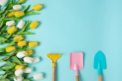 Planting spring flowers Gardening tools and flowers white yellow tulips copy space top view scoop blue background