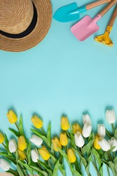 Planting spring flowers Gardening tools white yellow tulips copy space top view scoop blue background summertime concept