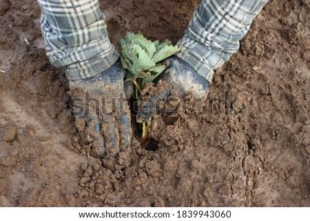 planting strawberries in the ground, seedling, leaves Zdjęcia stock ©