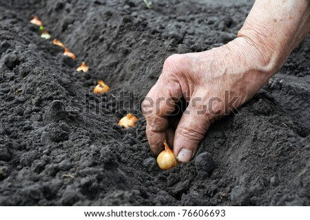 planting the onion