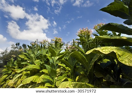 planting tobacco under the blue sky