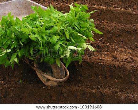 Planting tomato seedling in ground
