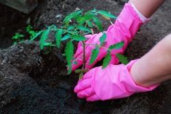 Planting tomato seedlings in the ground in early spring. The hands of a farm worker in pink gloves plant a tomato bush in the ground. The concept of agricultural development. Selective focus