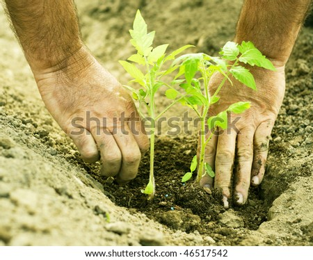 stock-photo-planting-tomatoes-in-the-garden-46517542.jpg