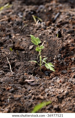 Planting tomatoes in the soil. Step by Step