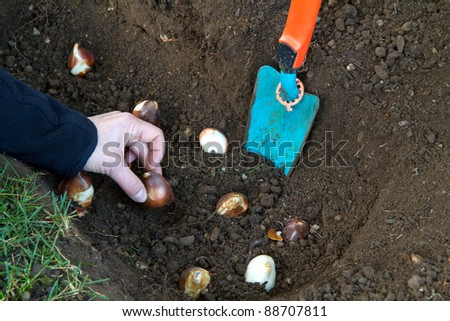 Planting tulip bulbs in the garden #88707811
