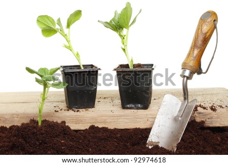 Planting vegetable seedlings from a wooden board into soil