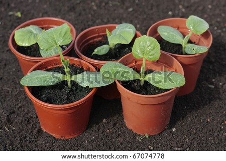 Planting  vegetable seeds in prepared soil rows