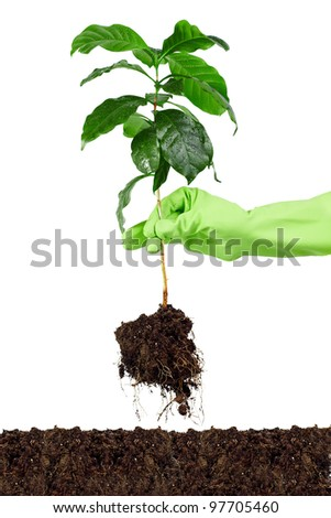 planting young coffee tree into soil isolated on white