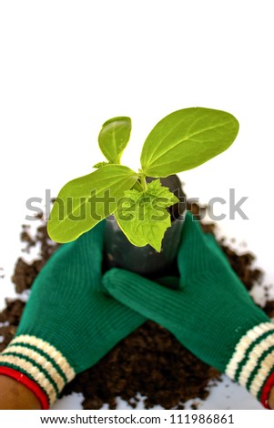 Planting young plant  in the soil on white