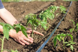 Planting young tomato seedlings in the garden. Close-up of young hands of a farmer with a green sprout in the garden bed. Seasonal planting of seedlings of vegetable crops.