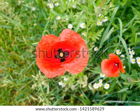 Plants: Closeup of a common poppy flower in a cornfield in June #1421589629