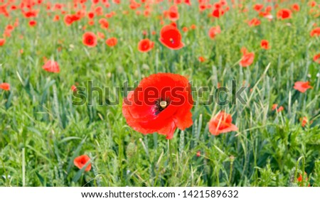 Plants: Closeup of a common poppy flower in a cornfield in June #1421589632