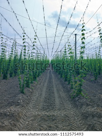 Plants: Endless rows with young bines in a hop yard in Eastern Thuringia in early June #1112575493