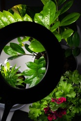 Plants in the room against the background of a gray wall. The flowers are lit by circular diode lamp. Green houseplants. Copy space.