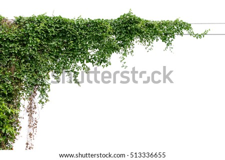 Plants ivy. Vines on poles on white background #513336655
