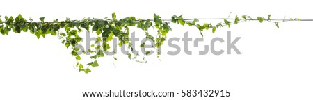 Plants ivy. Vines on poles on white background, Clipping path