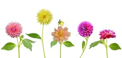 plants of America dahlia flowers