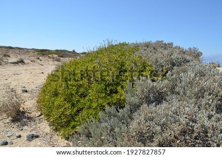 Plants of Chrissi island. Greece