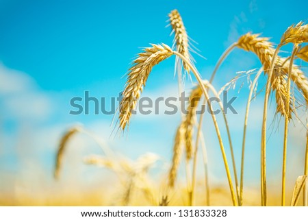 plants of wheat
