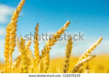 plants of wheat before harvesting #126878339