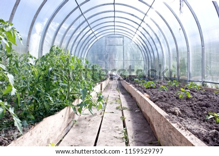 Plants tomatoes and pepper inside the greenhouse Сток-фото ©