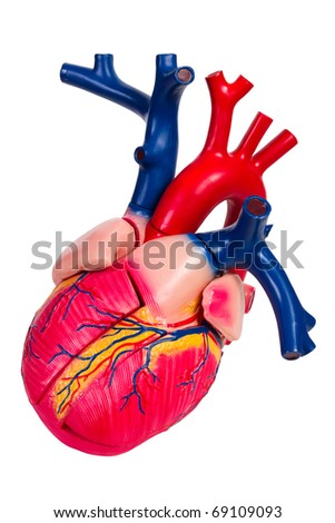 plastic anatomical model of human heart, isolated on white - stock photo