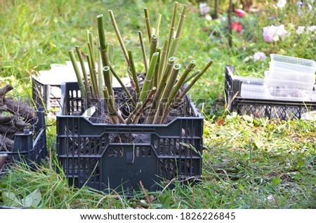 Plastic boxes with Dahlia flower roots. Tubers of flowers dry out in the sun. Storage of dahlias in autumn. Planting flowers. Black garden box with tubers of plants and flowers. Dahlia planting season Foto stock ©