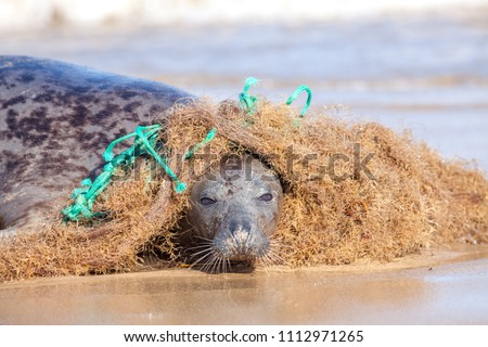 Plastic marine pollution. Seal caught in tangled nylon fishing net.