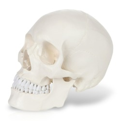 Plastic model of human scull