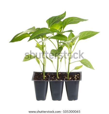 Plastic pack containing three seedlings of sweet pepper (Capsicum annuum) ready for transplanting into a home garden isolated against a white background