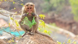 Plastic pollution in the jungle environmental problem. Monkey Crab eating can eat plastic bags mistaking them for food. plastic waste. nature.Green background