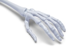 Plastic Skeleton Hand Isolated on a White Background.