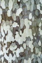Platanus occidentalis tree bark texture closeup. A tree shedding bark. The pattern is similar to a military camouflage pattern.