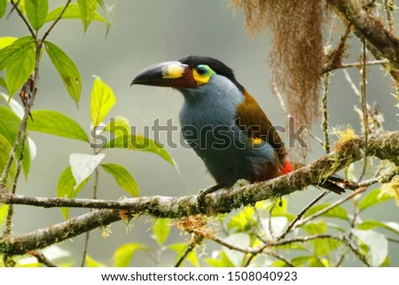 Plate-billed Mountain Toucan (Andigena laminirostris) - Ecuador