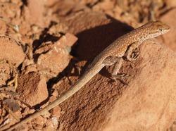 Plateau Side-blotched Lizard (Uta stansburiana uniformis), Male. Plateau Side-blotched Lizard camouflaged on a rock. Buckskin Gulch Canyon, Kane County, Utah, USA.