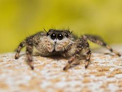 Platycryptus undatus jumping spider