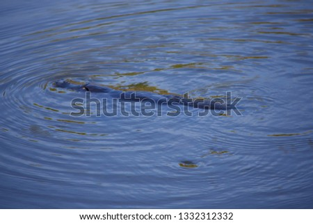 Platypus floating in a lake in a wild in Australia