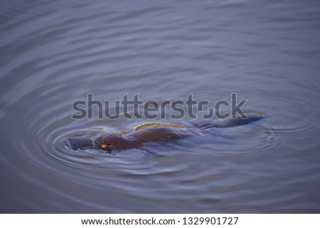 Platypus floating in a wild in Australia