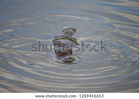 Platypus in a wild in Australia