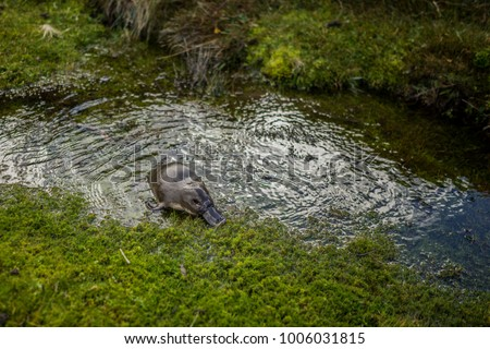 Platypus in Cradle Mountain National Park in Tasmania, Australia