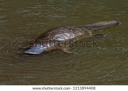Platypus - Ornithorhynchus anatinus, duck-billed platypus, semiaquatic egg-laying mammal endemic to eastern Australia, including Tasmania.