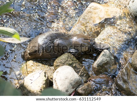 Platypus swimming in a Tasmanian creek.