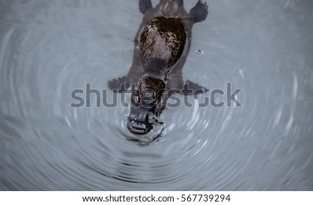 Platypus swimming on the surface of a creek, Eungella National Park, Queensland, Australia