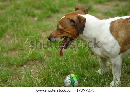 Play time with terrier and the ball