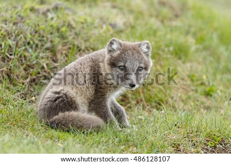 Stock Photo Playful arctic fox cub at Iceland