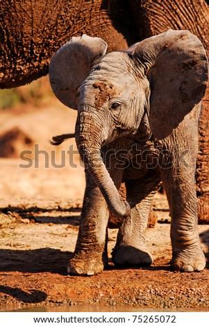 Playful Baby African Elephant (Loxodanta africana)