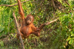 Playful baby orangutan (orang-utan)   in his natural environment in the rainforest on Borneo (Kalimantan) island with trees and palms behind.