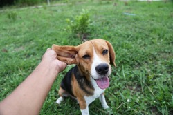 Playful beagle dog sits on the green grass outdoor in the park after paying with the owner,hand hold its ear.
