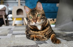 Playful Bengal Cat, Adorable cat lying in the living room